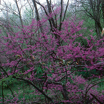 Cercis canadensis brookdale treeland nurseries limited for Specimen trees zone 5