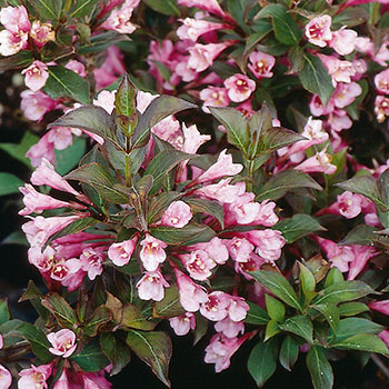 weigela florida 39 purpurea 39 brookdale treeland nurseries limited. Black Bedroom Furniture Sets. Home Design Ideas