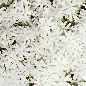 Phlox Subulata Group 'Snowflake'