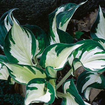 Hosta 'Fire and Ice'