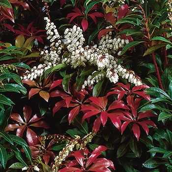 Pieris japonica 'Mountain Fire'
