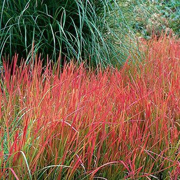 imperata cylindrica 39 red baron 39 brookdale treeland nurseries limited. Black Bedroom Furniture Sets. Home Design Ideas