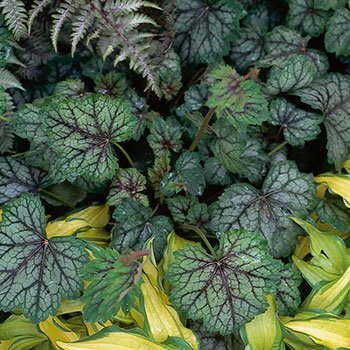 Heuchera 'Green Spice' (Eco-Improved)