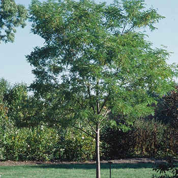 Gleditsia triacanthos 'Shademaster'®
