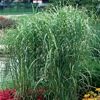 miscanthus sinensis 39 zebrinus 39 brookdale treeland nurseries limited. Black Bedroom Furniture Sets. Home Design Ideas