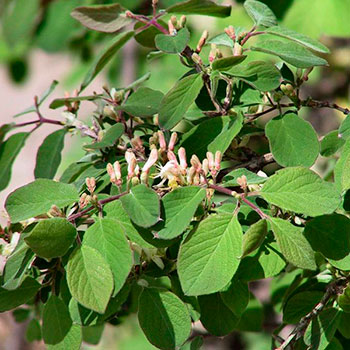 Lonicera xylosteum 'Emerald Mound'