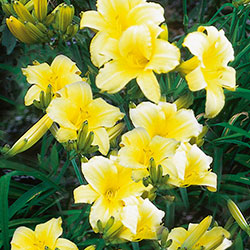 Hemerocallis 'Mary Todd'