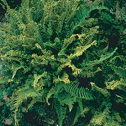 Dryopteris affinis 'Cristata' (The King)