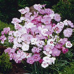 Dianthus Plumarius Group 'Sweetness'