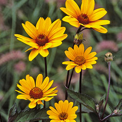 Heliopsis helianthoides 'Summer Nights'