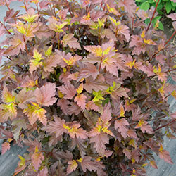 Physocarpus opulifolius 'Center Glow'™