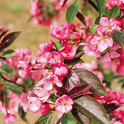 Malus 'Red Splendor'