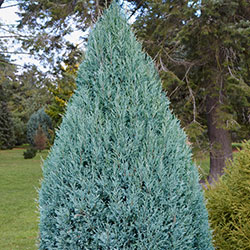 Juniperus scopulorum 'Moffat Blue'