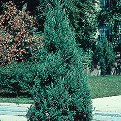 Juniperus chinensis 'Mountbatten'