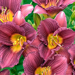 Hemerocallis 'Purple de Oro'