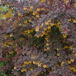 Berberis thunbergii 'Royal Cloak'